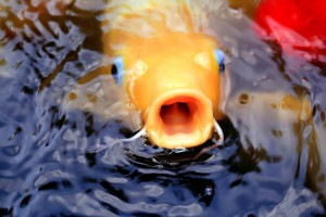 fische für den teich
