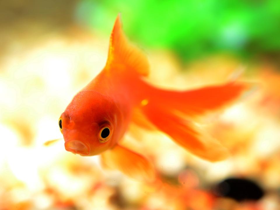goldfische teich