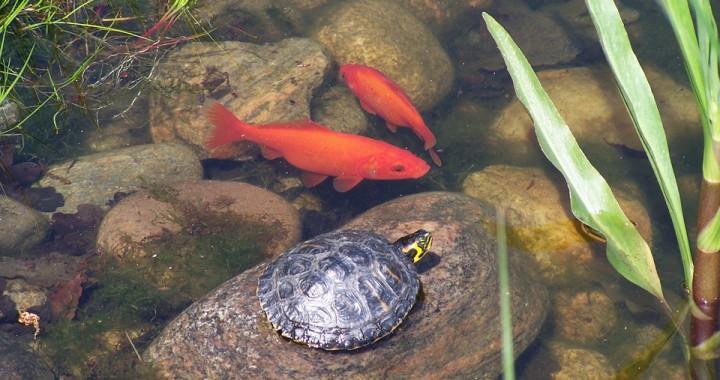 goldfische im teich