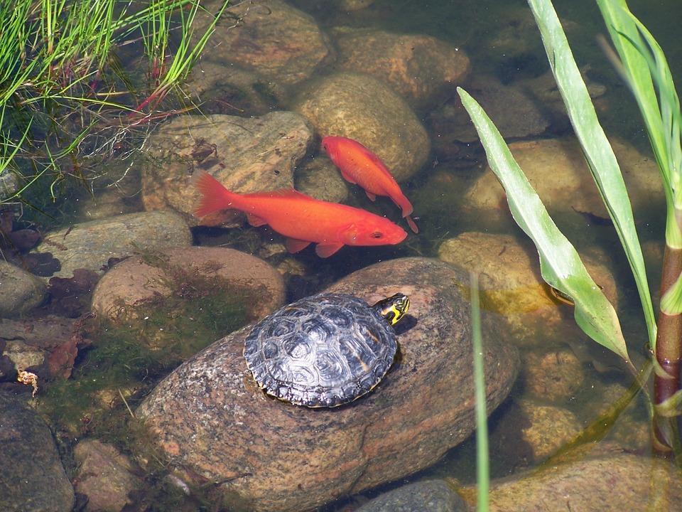 Goldfische im Teich | Goldfisch Haltung